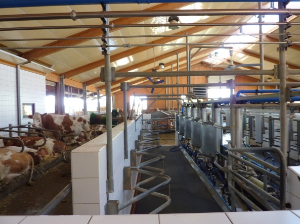 Modern dairy facility for Fleckvieh cows