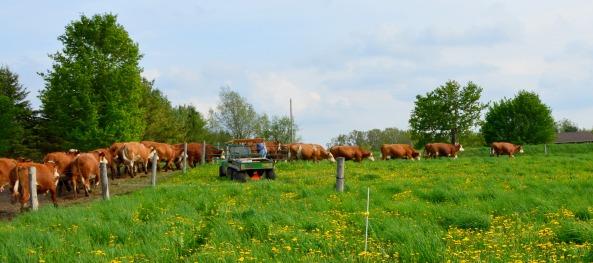 Cows going to grassDSC_3919
