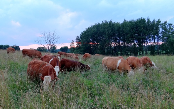 cows on high grass '14