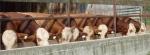 bulls at mangerP1030680