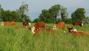 Cattle laying in tall grassDSC00953