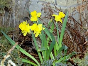 Daffodils mar '15
