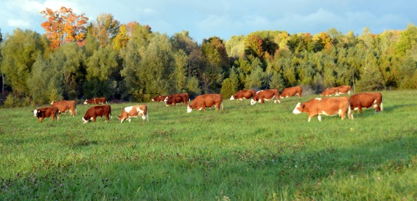 Cows Oct '155