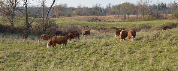 cows-fall-16