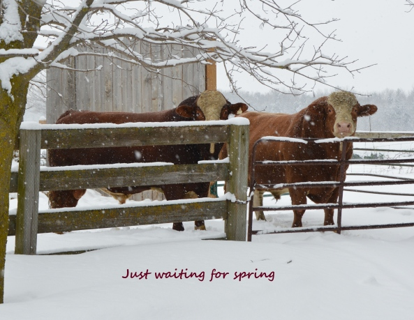 Just waiting for spring - bulls DSC_9488