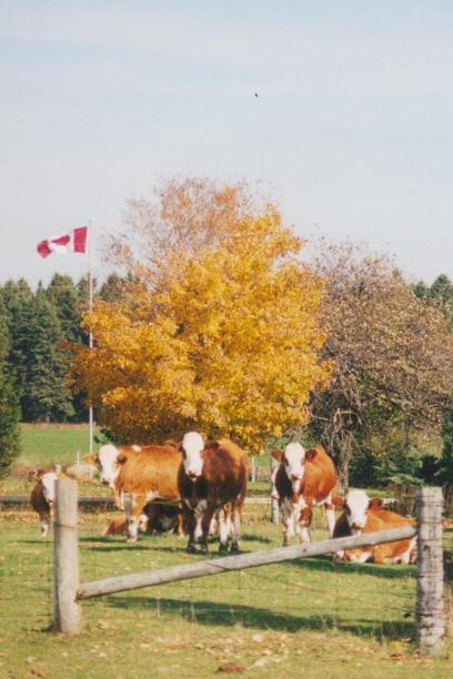 Cattle with flag